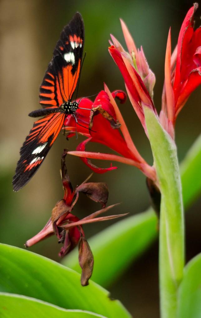 Laparus doris viridis Doris Longwing Butterfly