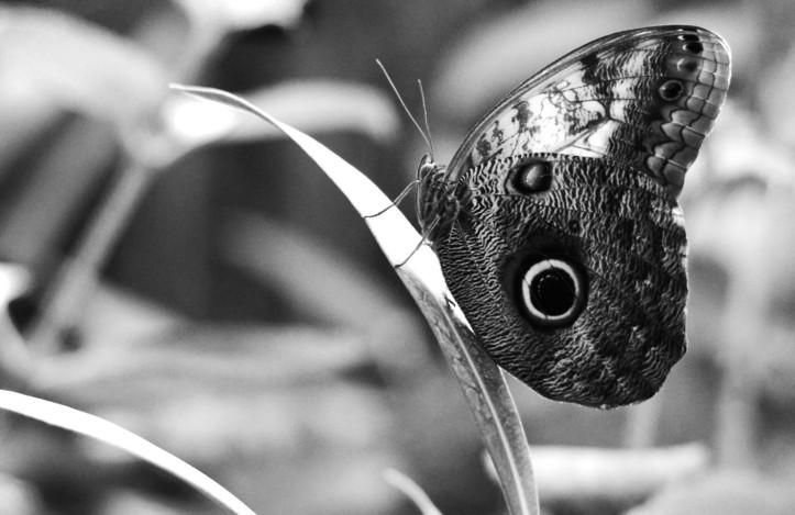 Eryphanis polyxena Purple Mort Bleu Butterfly