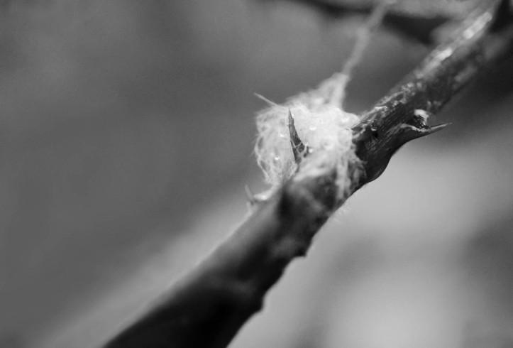 Blackberry thorn