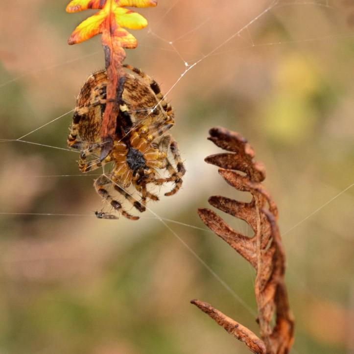 Araneus diadematus - European garden spider*