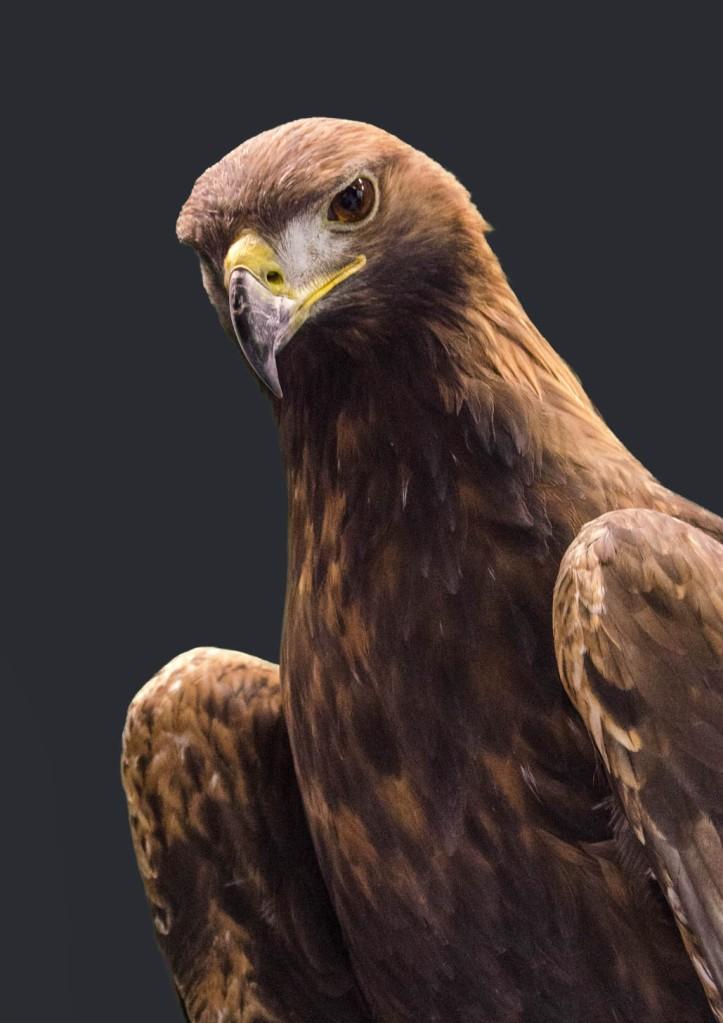 Golden Eagle - Aquila chrysaetos*