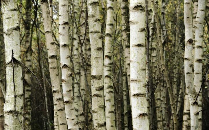 Reforestation with Birch woodland