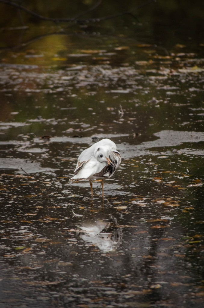 Chroicocephalus ridibundus - Black-headed gull*