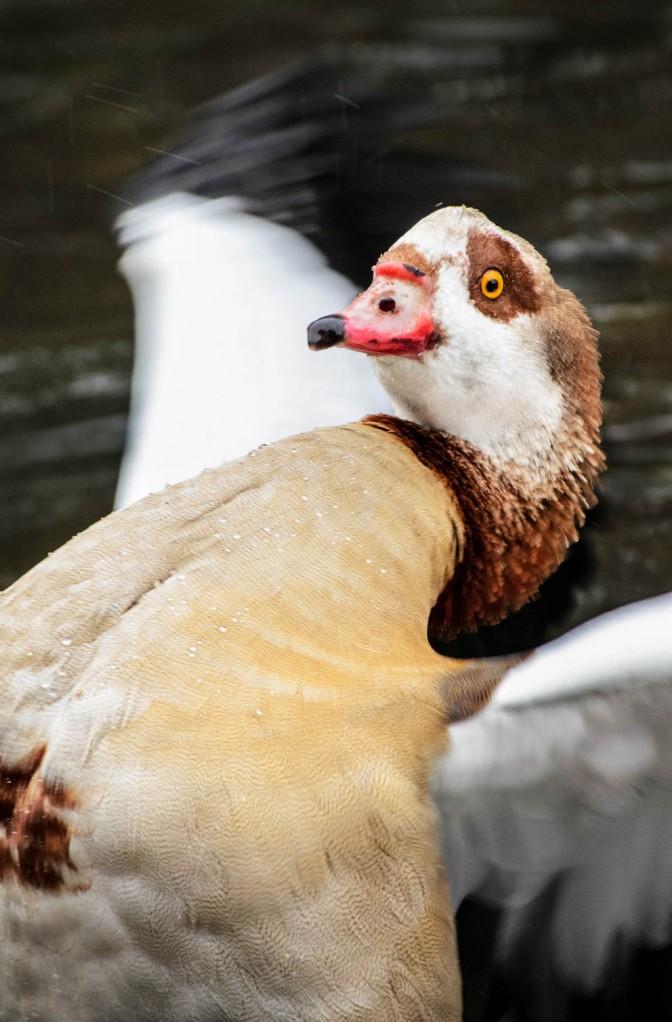 Alopochen aegyptiacus - Egyptian goose*