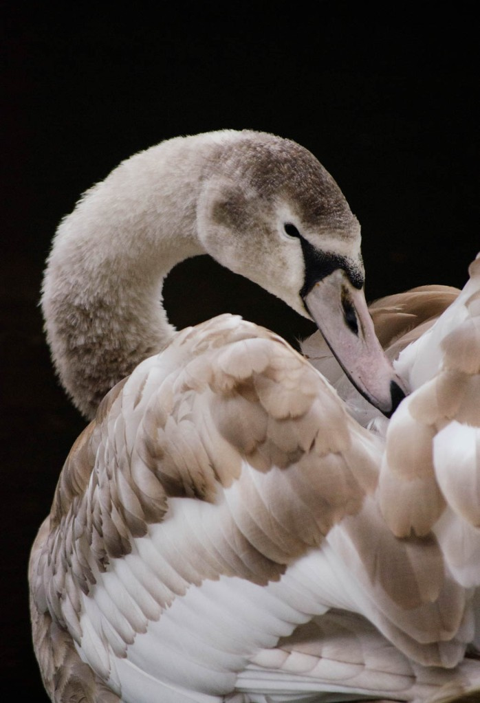 A young Mute swan - Cygnus olor