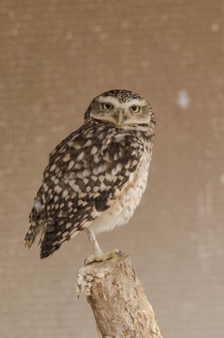 Burrowing Owl Athene cunicularia photographed through cage wire