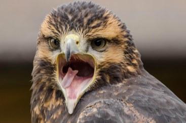 A rather vocal Grey Buzzard Eagle Geranoaetus Melanoleucus