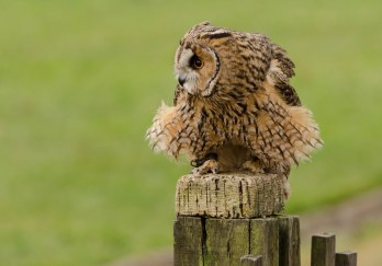 A Long Eared Owl Asio otus taking a break during its flight show