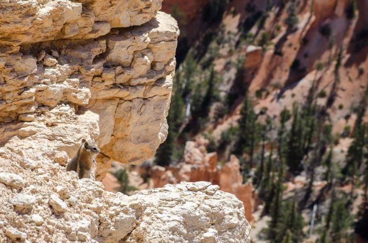 Cliff Chipmunk - Tamias dorsalis
