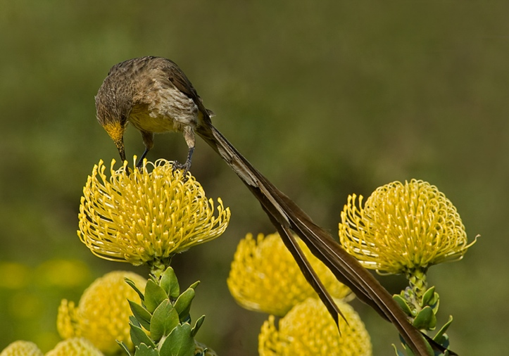 Pollen pick-up on head feathers of male Cape sugarbird as feeds on pincushion protea (Leucospermum cordifolium), South Africa. © Heather Angel