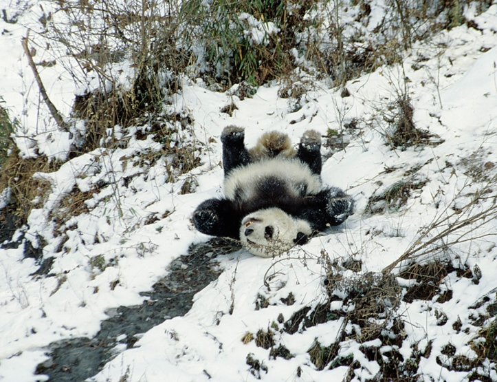 Giant panda slides down a snowy slope in Sichuan, China. © Heather Angel