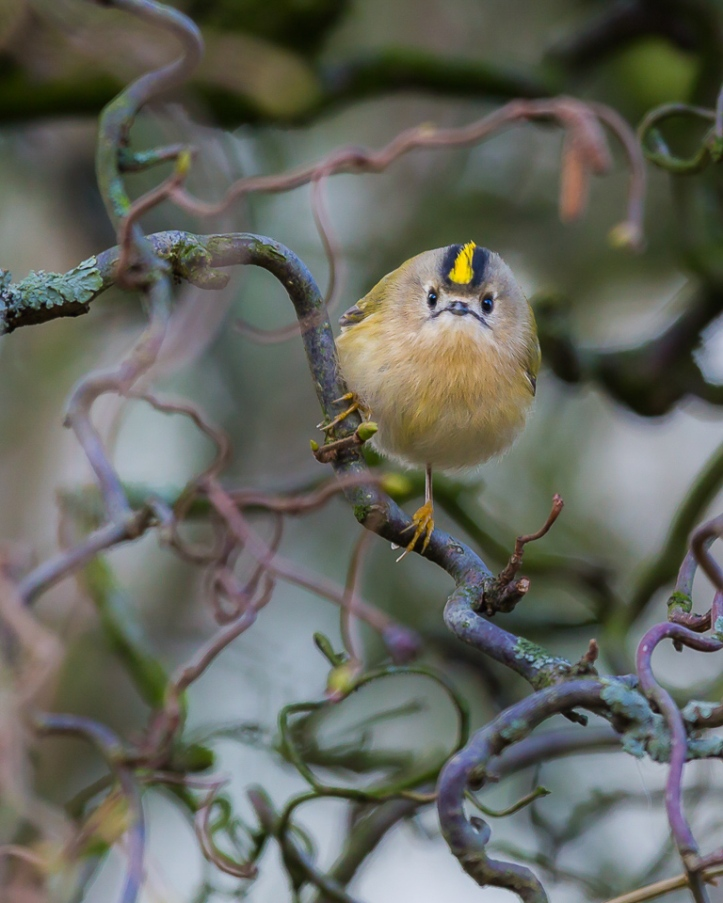 Goldcrest, Hyde Park, London © Annmarie Meredith