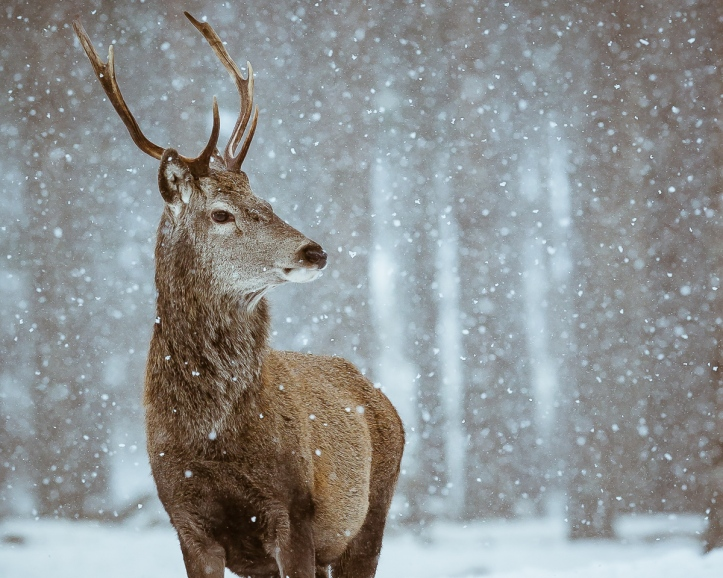Red deer stag in a snow flurry, Alvie Estate, Scotland © Annmarie Meredith