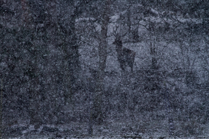 A male Red Deer (Cervus elaphus) stands amongst woodland in heavy snowfall. Peak District National Park, England. © James Shooter